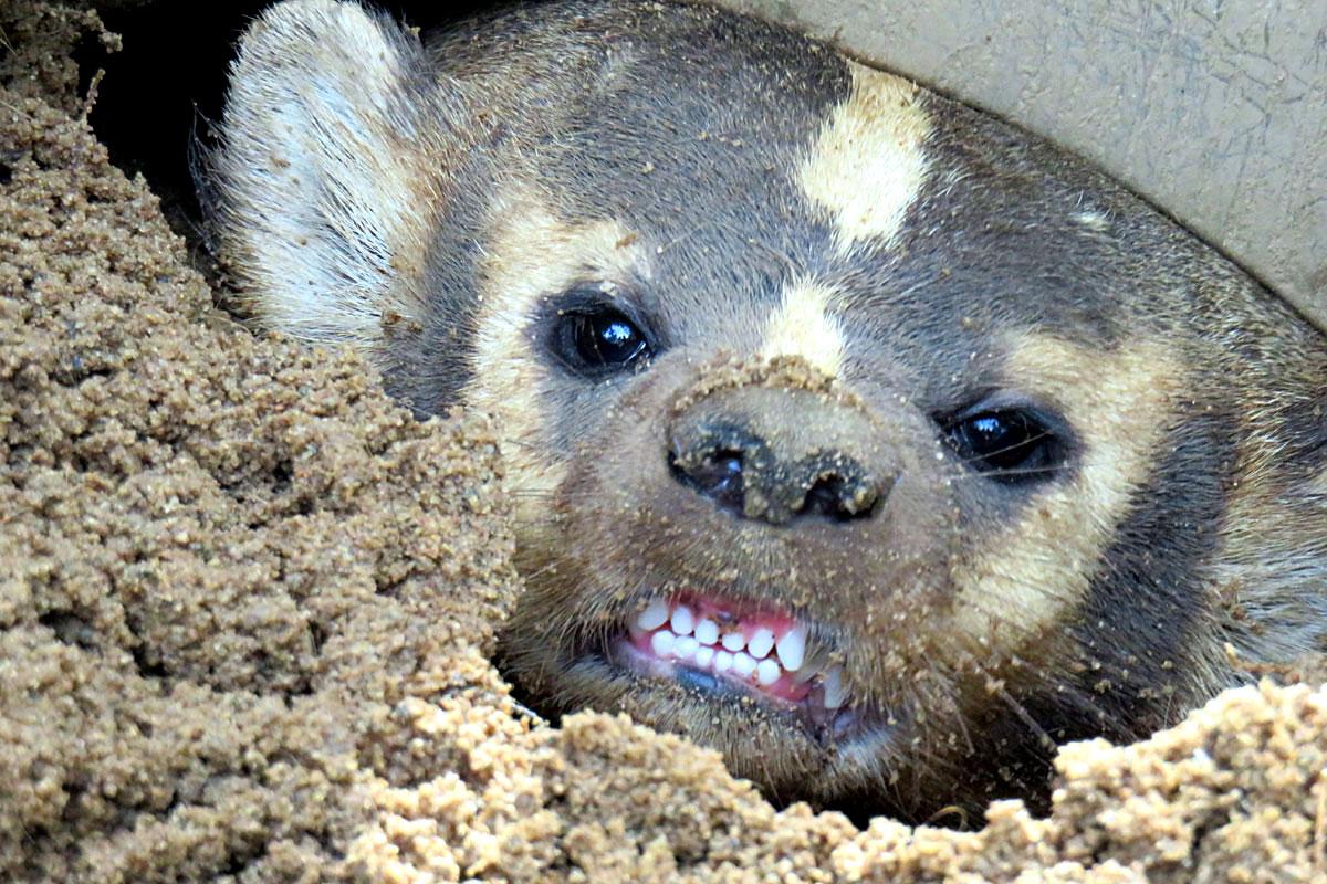north american badger at garlyn zoo in michigan u0026 39 s upper